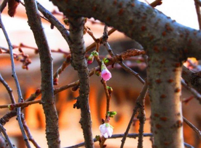 В Мукачево цветет сакура