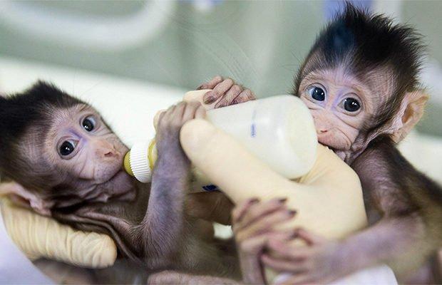 В Китае впервые клонировали приматов по технологии овечки Долли 2