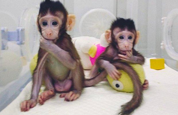 В Китае впервые клонировали приматов по технологии овечки Долли 3
