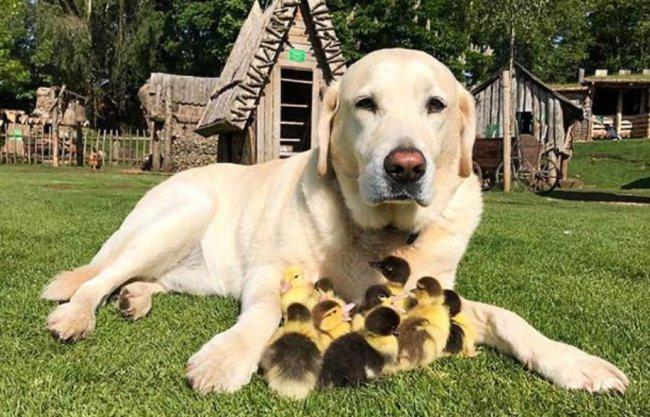 Пес стал опекуном для птенцов утки 3