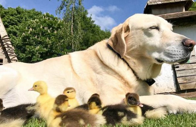 Пес стал опекуном для птенцов утки