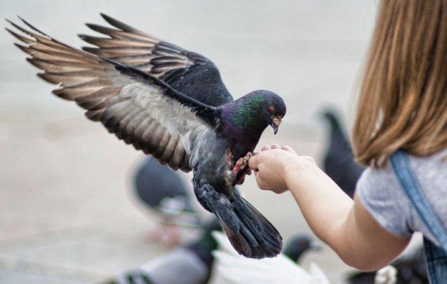 В Таиланде запретят кормить голубей 2